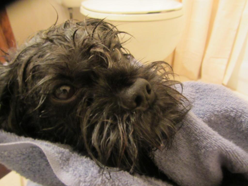 dog, wet, towel, bath