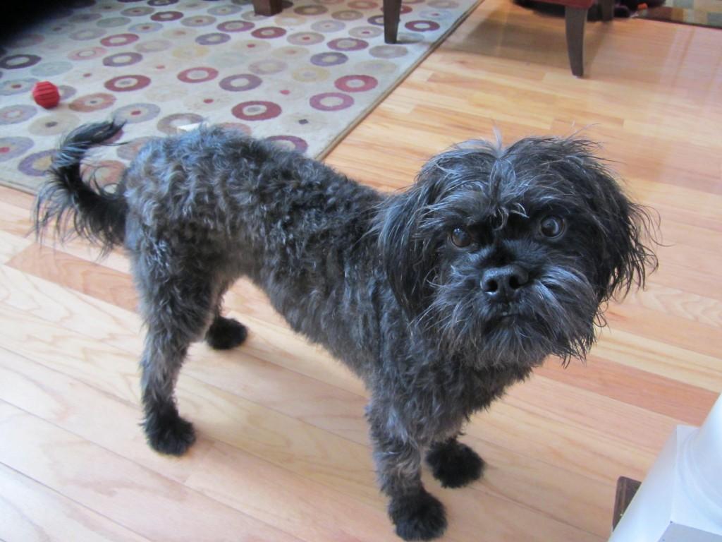 Milo, dog, black, clean, bath, fluffy