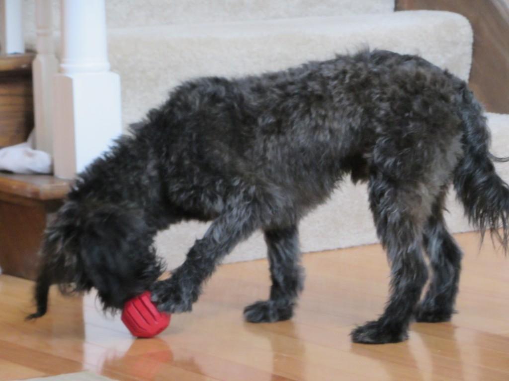 dog, black, knog, toy, food, paw