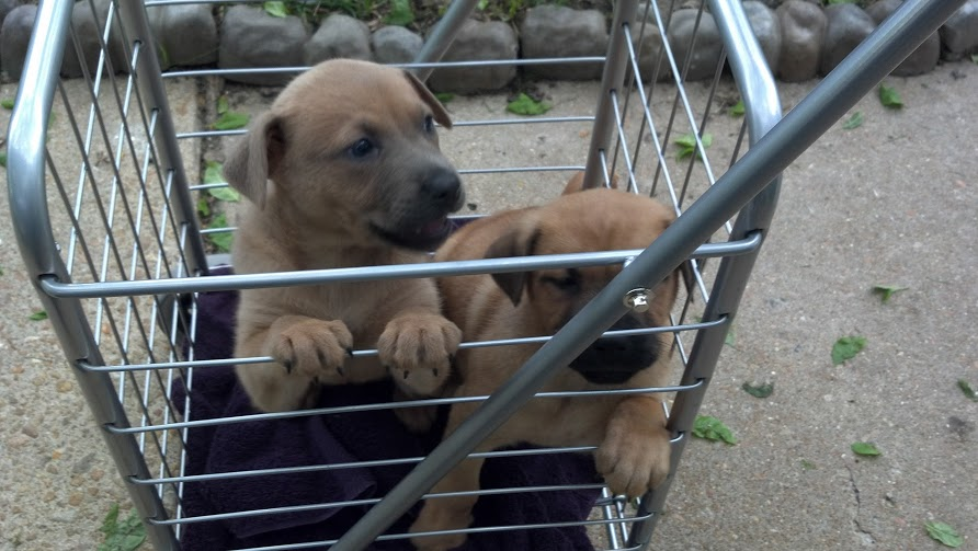 Foster puppies in a grocery cart