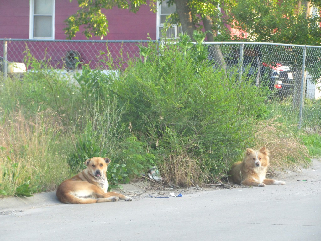 East St. Louis stray dogs