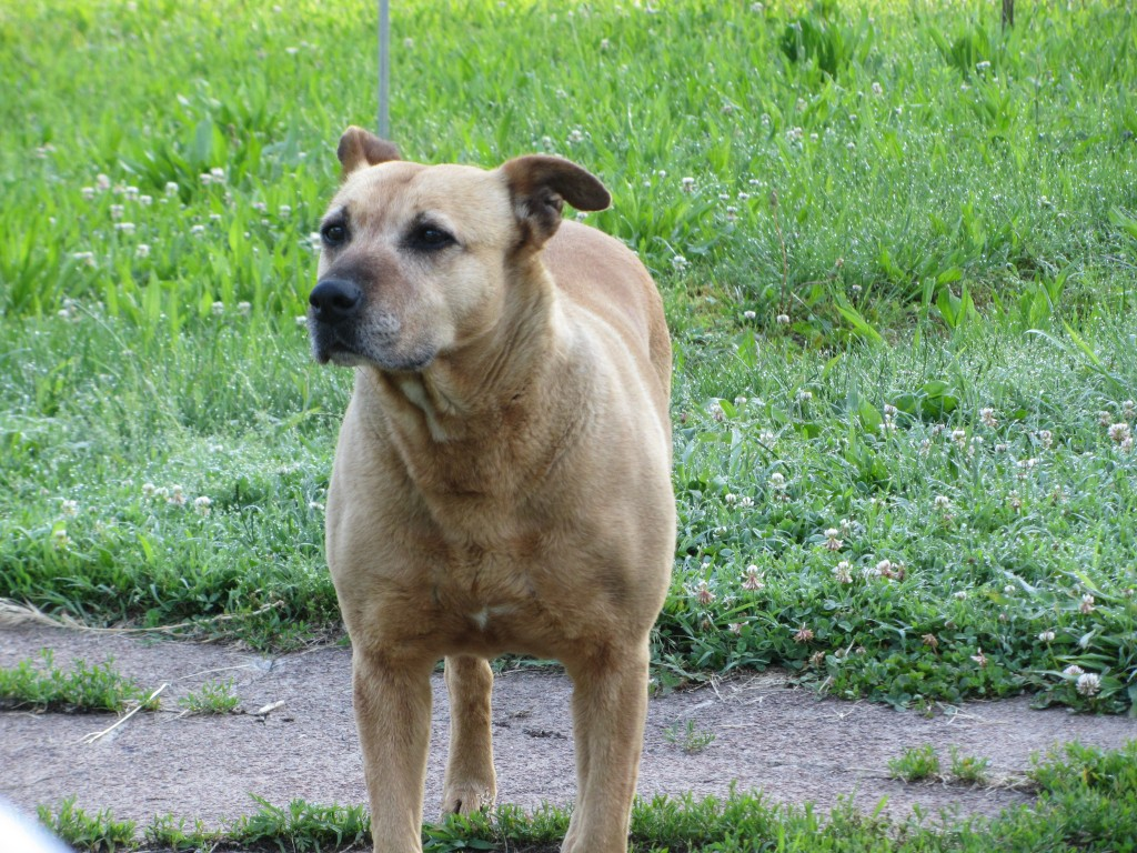 East St. Louis stray dog - tan