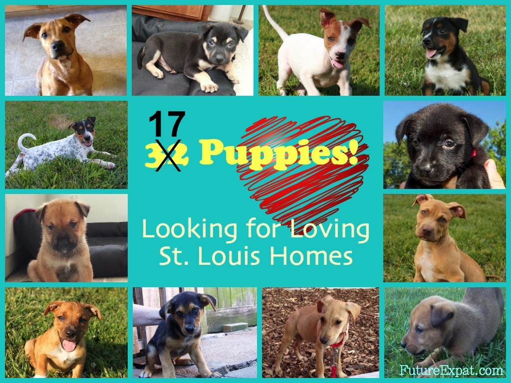 32 Puppies Looking for St. Louis Homes!