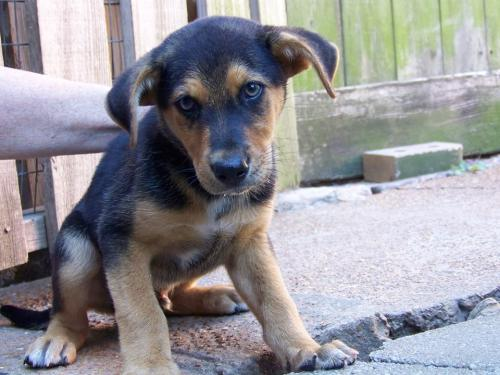Adoptable puppy - Cajun