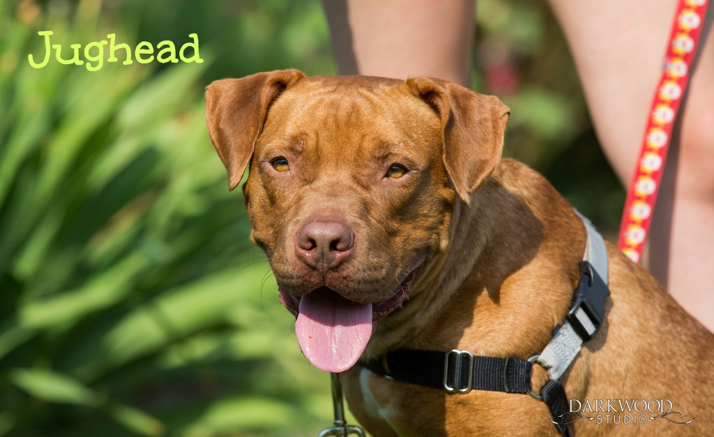 Gateway Pet Guardians rescue dog - Jughead