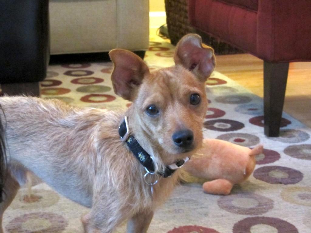 Benji -  - foster dog with Gateway Pet Guardians