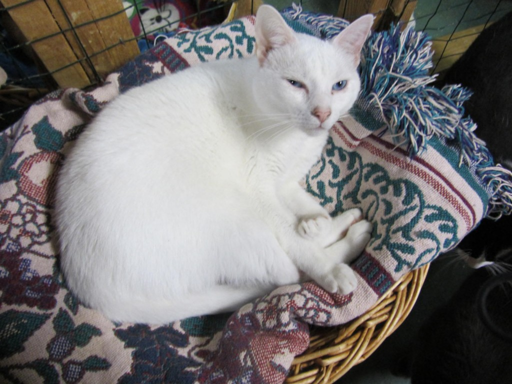 Clowder House white cat