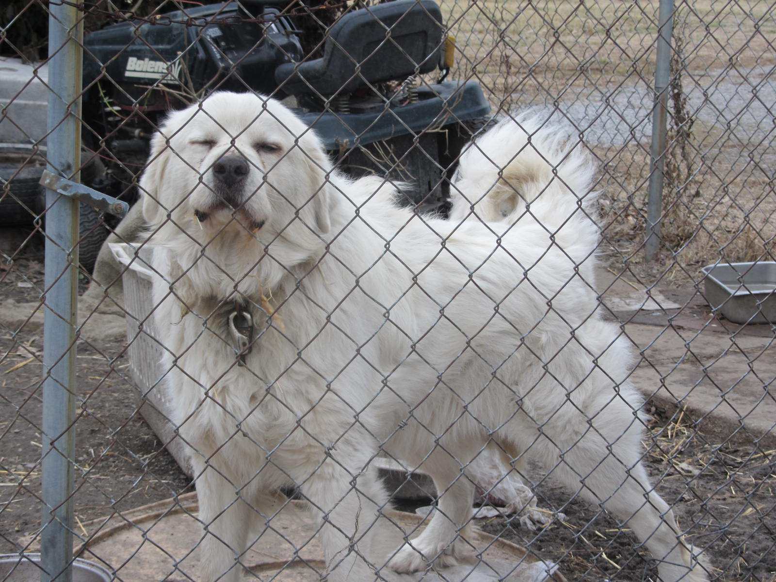 East St Louis white dog