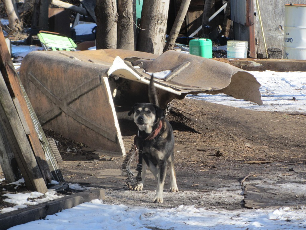 Dog in makeshift shelter in yard