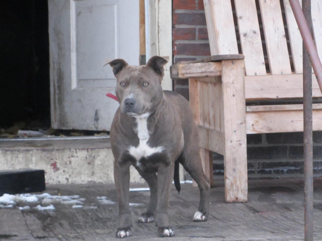 Abandoned pit bull in East St Louis