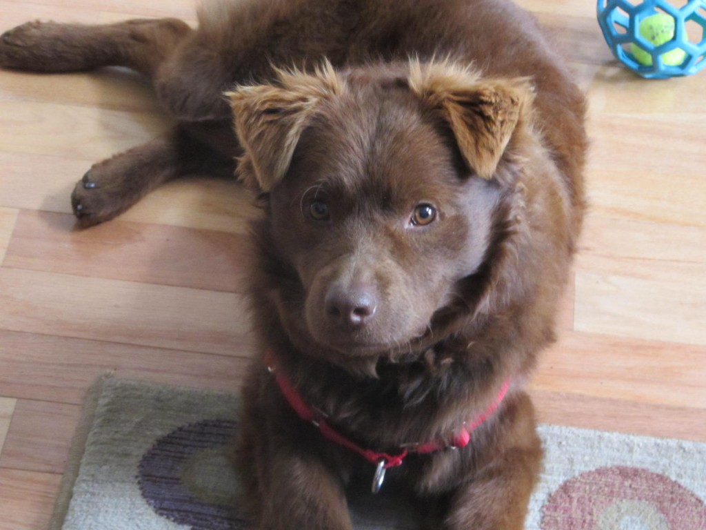 Foster dog - Clemson (aka Teddy) - Future Expat