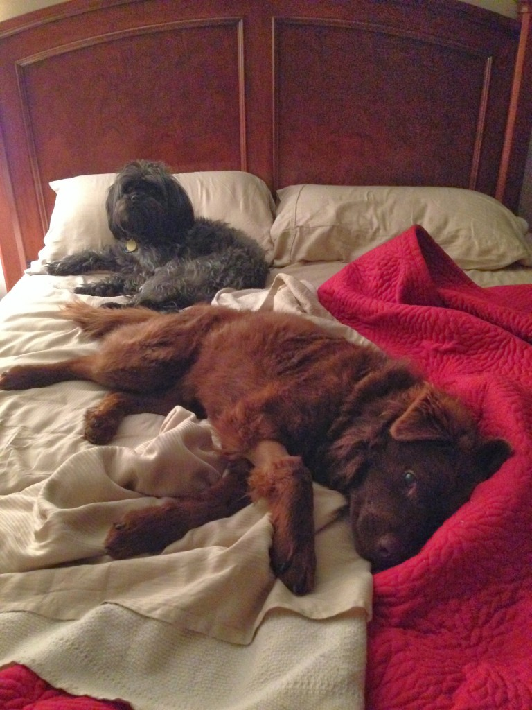 brown dog and black dog in bed