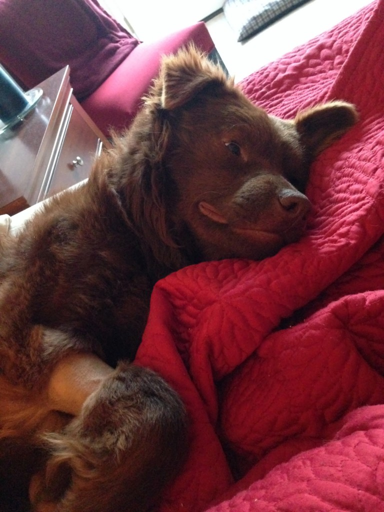brown dog in bed on red cover