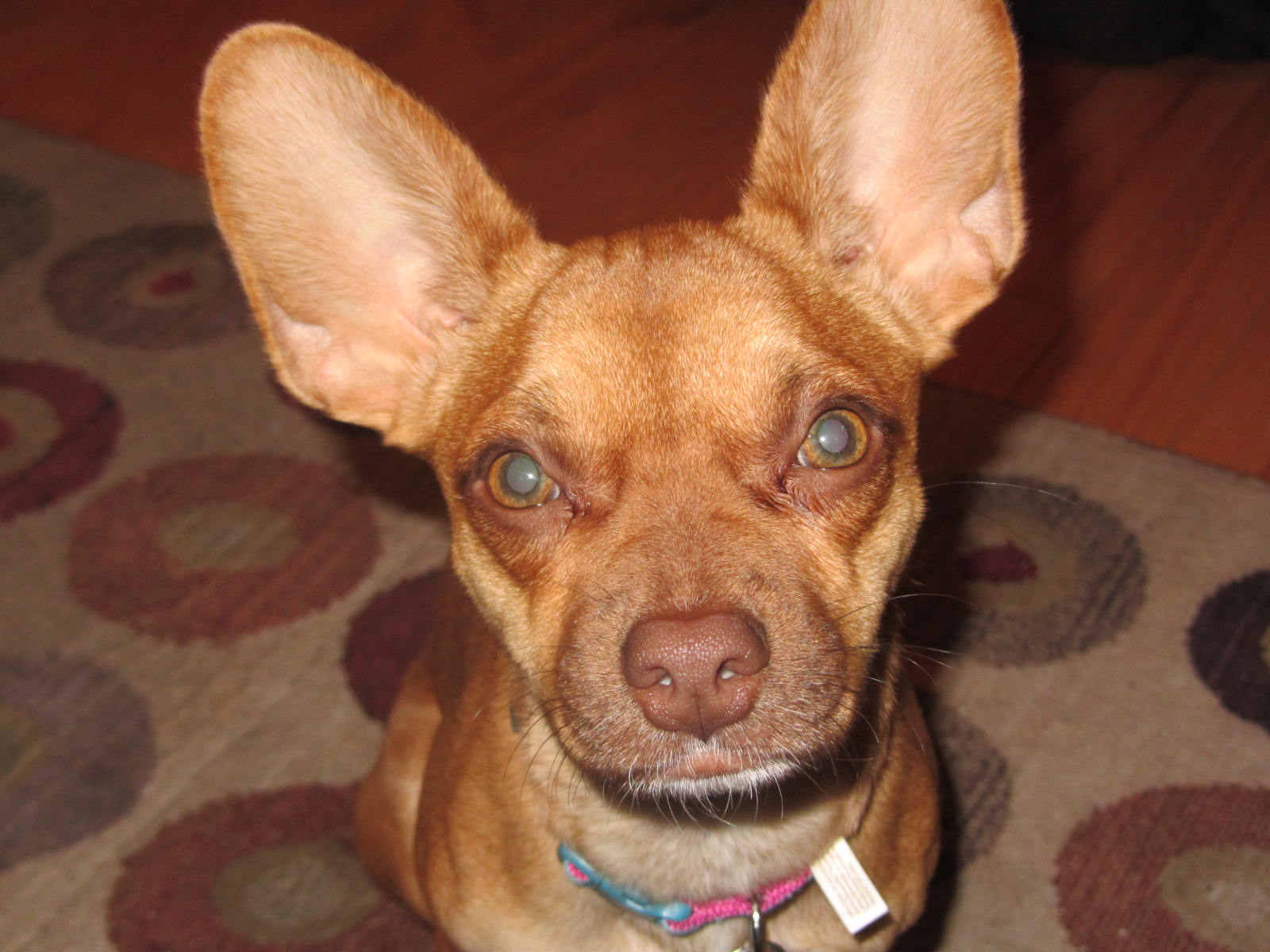 Wordless Wednesday – Fostering Jodi the Chihuahua