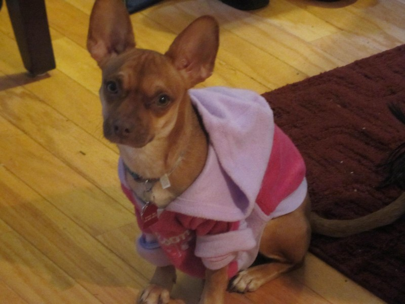 Wordless Wednesday - Fostering Jodi the Chihuahua - Future Expat #petrescue #dog #chihuahua #FutureExpat