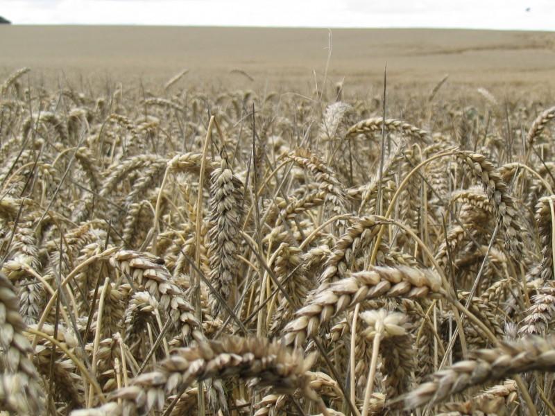 Barley - Credit David Reimer (freeimages.com)