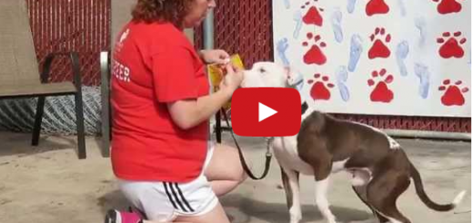 Rescue Pit Bull Trained Learns Command Wait on Video