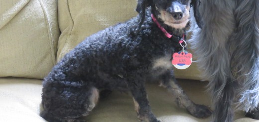 Help Find Stella the Toy Poodle a Forever Home | Future Expat
